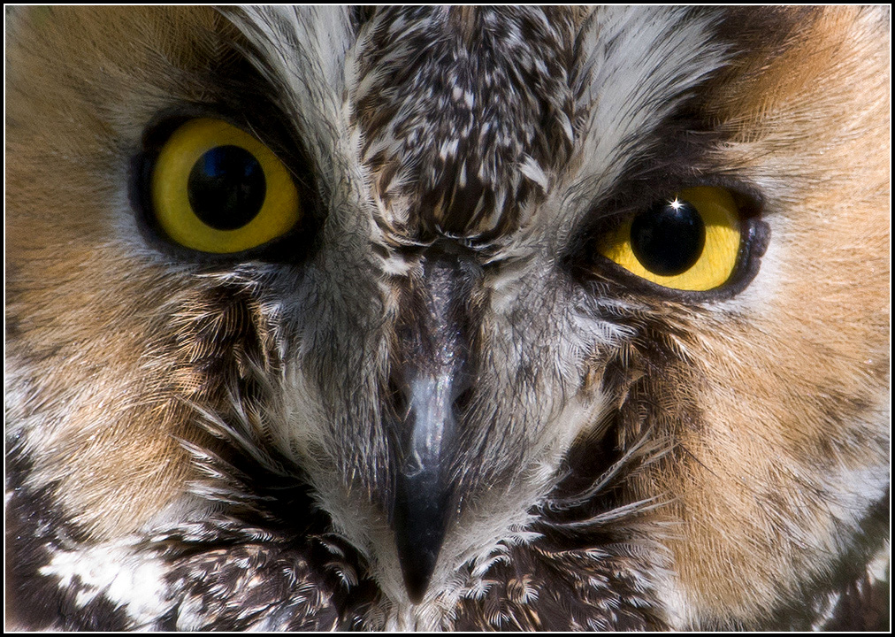 Long-Eared Owl Stare ©Mike Spinak